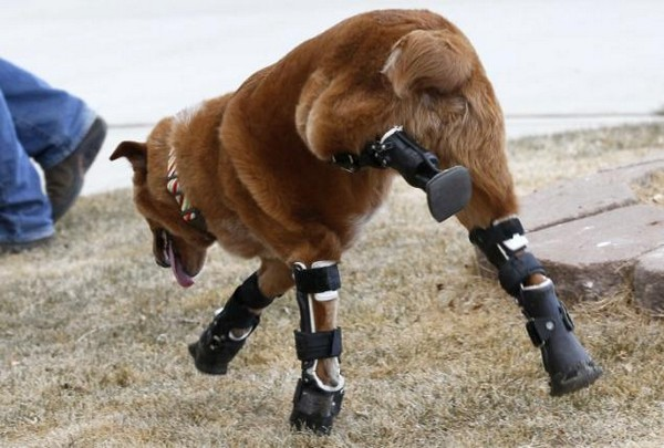 Чудеса ортопедии: собака на четырех протезах от Orthopets