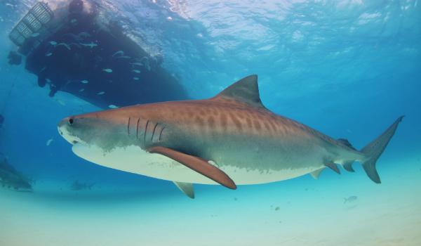 Во время испытаний тигровая акула напала на манекен в стандартном черном костюме для дайвинга