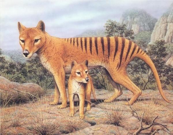 Сумчатые волки, рисунок. Источник фото: animal.memozee.com
