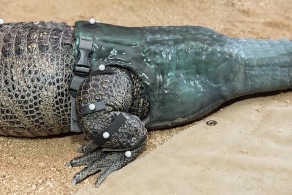 Протез хвоста для аллигатора. Источник фото: incrediblefeatures.com