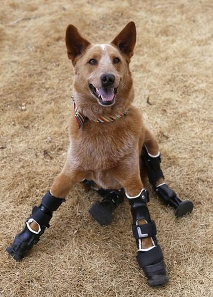 Новые лапы для собаки от Orthopets. Источник фото: pinterest.com