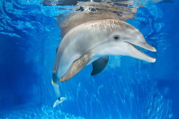 Протез хвоста для дельфина. Источник фото: post.health.ufl.edu