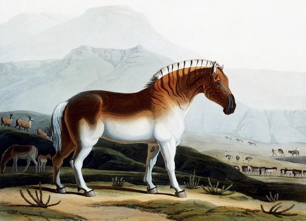 Зебра-квагга. Рисунок 19 века. Источник фото: wired.com