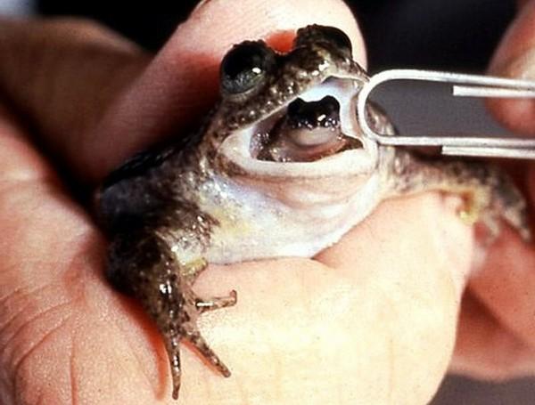 Реобатрахус - заботливая лягушка. Источник фото: animalworld.com.ua