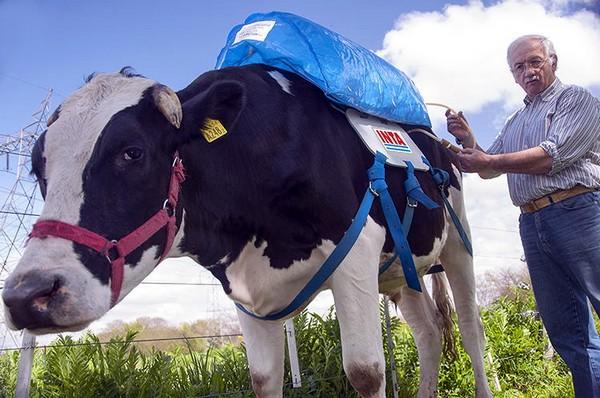 Добыча метана из коров