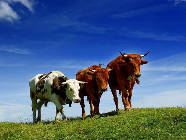Американская борьба с метеоризмом у коров