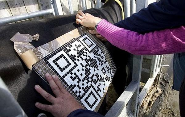 QR-коды на пасущихся коровах